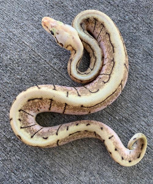 Spinner Blast Ball Pythons for sale | Snakes at Sunset