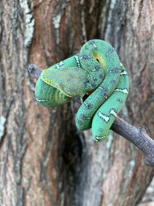 Baby Emerald Tree Boas for sale