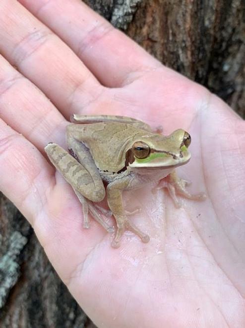 Masked Tree Frog for sale (Smilisca phaeota)