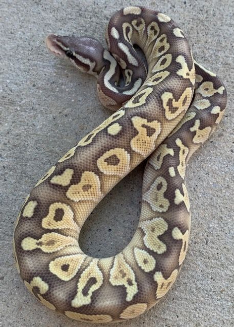 Pastel Lesser Ghost for sale