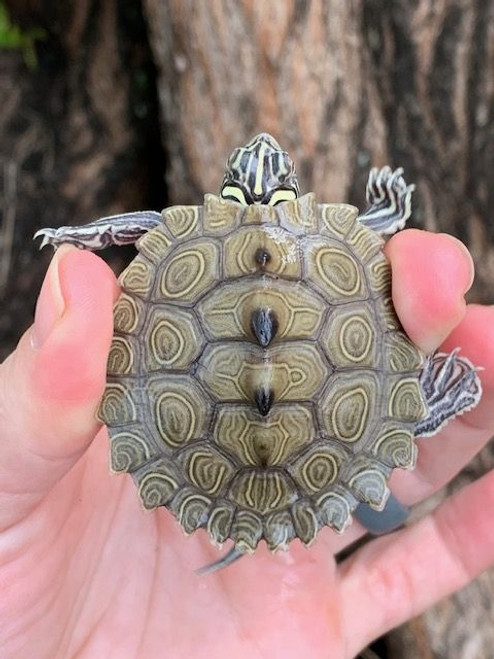 Black Knobbed Map Turtle for sale