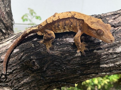 Crested Geckos for sale | Snakes at Sunset