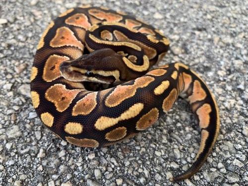 Enchi Cinnamon Ball Python for sale