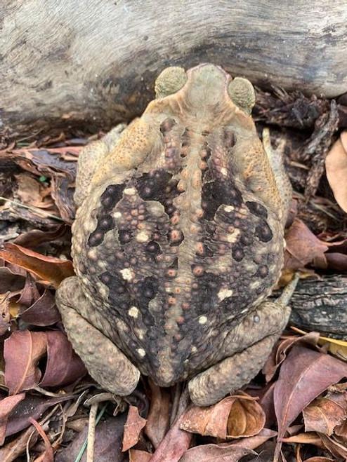Marine Toads for sale (Rhinella marinus)