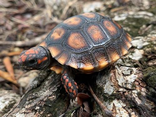 Cherry Head Red Foot Tortoise for sale (Chelonoidis carbonaria) BABY