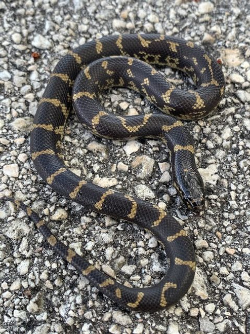 "Marina Del Rey ""MUD MORPH"" California King Snake"
