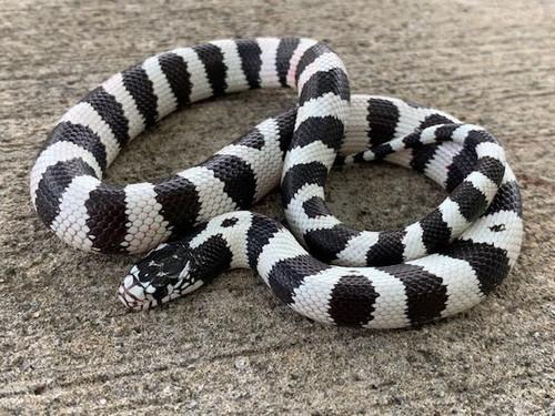50/50 California King Snakes for sale