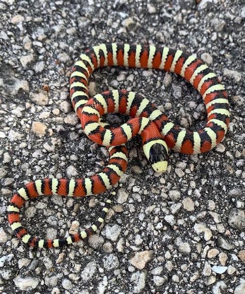 Arizona Mountain King Snake for sale