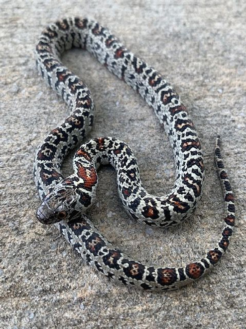 St Luis Potosi King Snake for sale Abberant/Granite