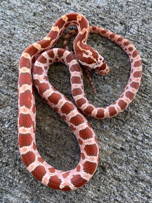 Hypo Corn Snake for sale | Snakes at Sunset