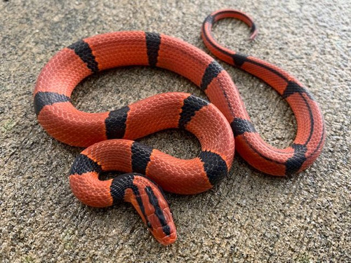 Red Mountain Bamboo Rat Snakes for sale (Oreocryptophis p. pulchra) MALES ONLY