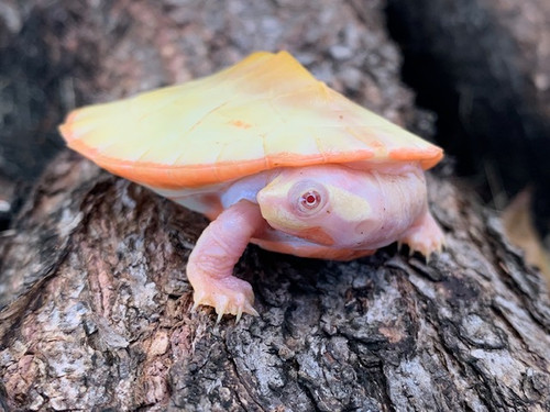 Albino Pink Belly Side Neck Turtles for sale