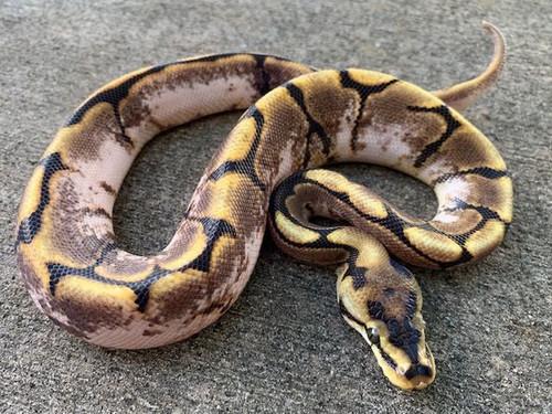 Calico Spider Ball Python for sale