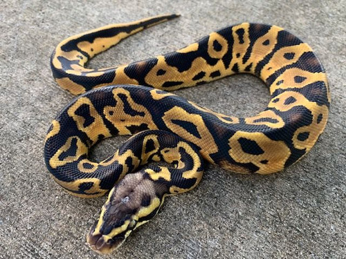 Pastel Leopard Ball Python for sale | Snakes at Sunset