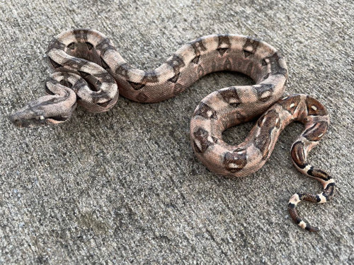 Cancun Boa Constrictor for sale