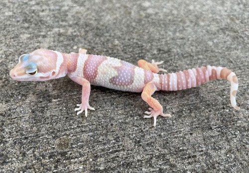 Chocolate Albino Leopard Gecko for sale at Snakes at Sunset