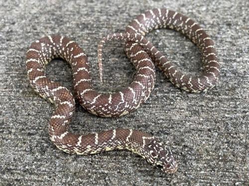 Peanut Butter Florida King Snake for sale