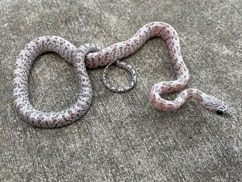 Hypo Cinder Sunkiss Corn Snake for sale | Snakes at Sunset