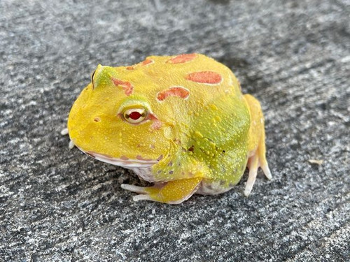 Pac Man Frog for sale | Snakes at Sunset
