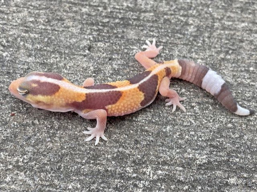 Tangerine Albino African Fat Tail Gecko for sale