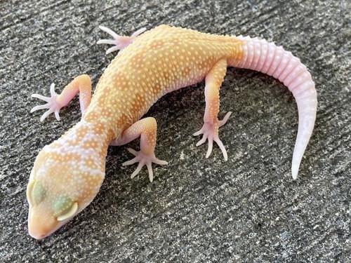 Albino Leucistic Leopard Gecko for sale