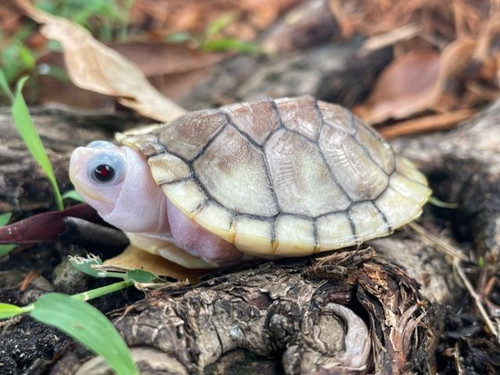 Caramel Pink Red Ear Sliders for sale   Snakes at Sunset