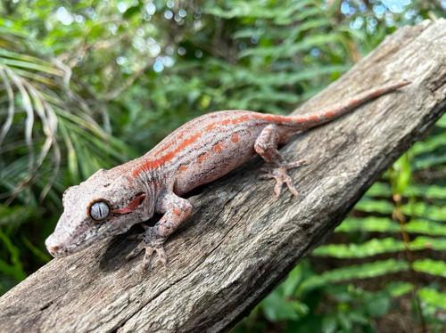 COLORED Gargoyle Gecko BABY for sale (Rhacodactylus auriculatus)
