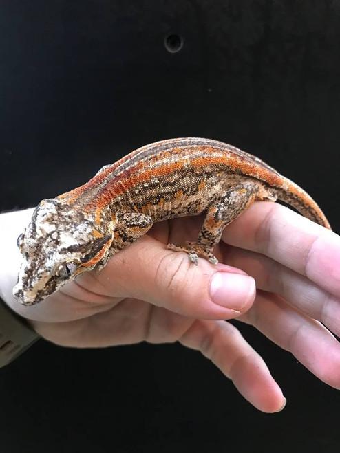 COLORED Gargoyle Gecko ADULT MALE for sale (Rhacodactylus auriculatus)