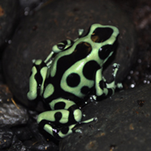 Green and Black Auratus Frogs for sale