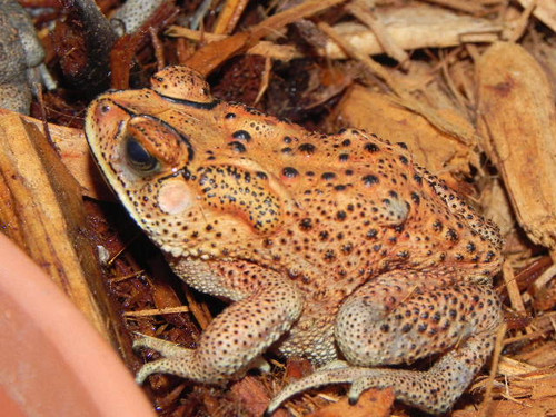 Asian House Toads for Sale