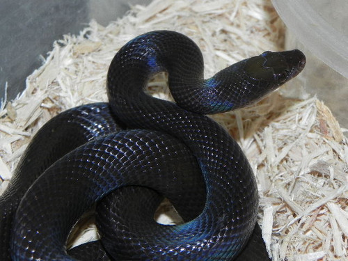 African House Snakes for Sale