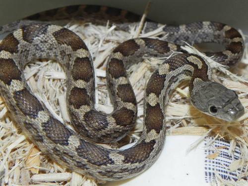 Black Rat Snake for sale