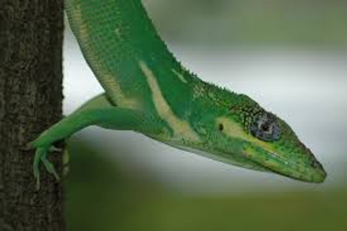 Cuban Knight Anole for sale