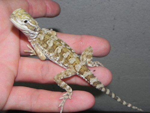 Rankins Dragon For Sale