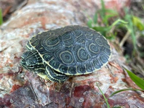 Peacock Slider Turtle for sale