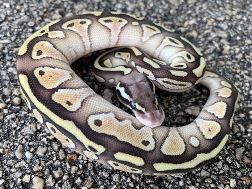 Pastel Lesser Ball Python Male for sale (Python regius)