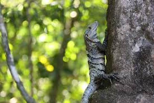 Spiney Tail Iguana Juveniles for sale