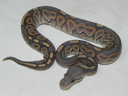 Cinnamon Ghost Ball Pythons for sale