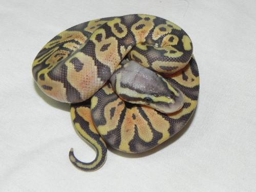 Pastel Orange Ghost Ball Python for sale