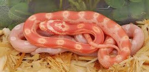 Albino Motley Corn snake for sale