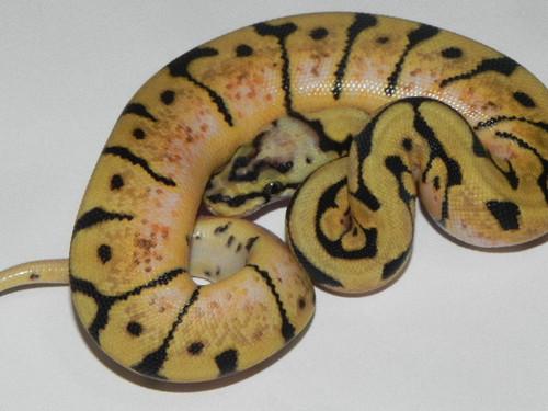 Bumble Bee Ball Pythons for sale
