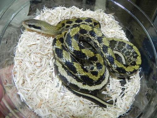 Taiwan Beauty Snake for sale