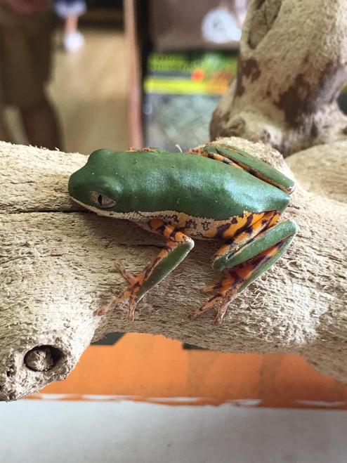 Tiger Leg Frog for sale   Snakes at Sunset