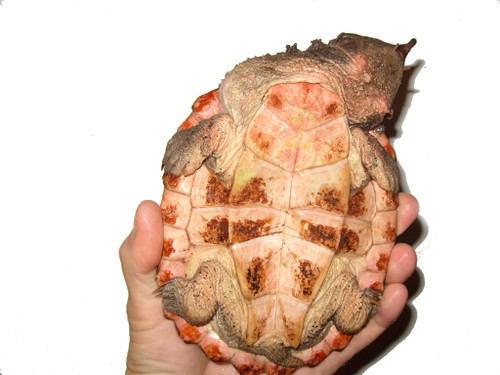 4 inch CH Mata Mata Turtles for sale (Chelus fimbriatus)