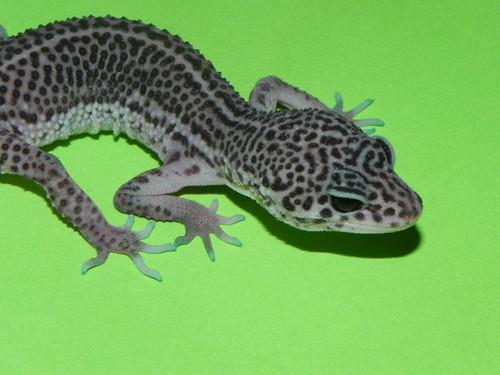 Super Snow Leopard Geckos for sale