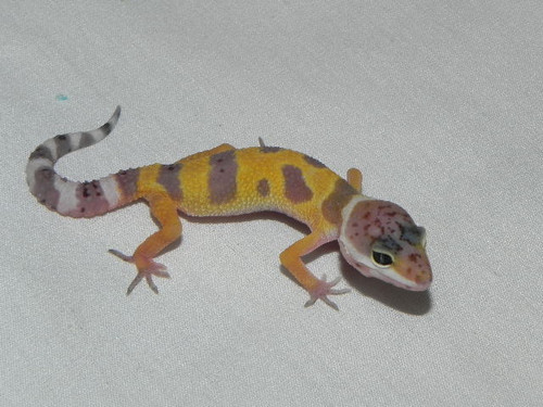 Baby Leopard Geckos for sale