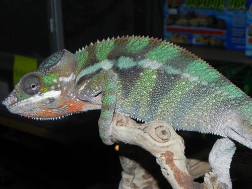 Panther Chameleons for sale (Pardalis furcifer) - AMBILOBE ADULT LOCALE
