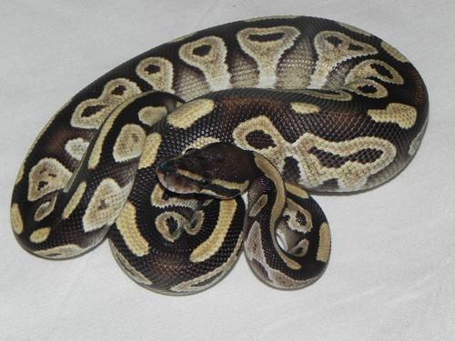 Mojave Ball Python for sale