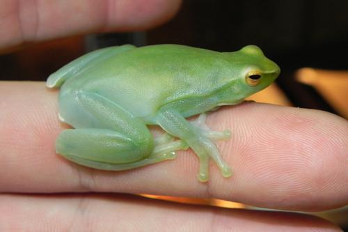 Hatchet Face Frogs for sale