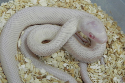 Red Eye Leucistic Texas Rat Snake for sale